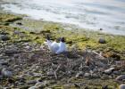 baie de somme nid oiseau