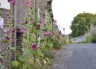 saint-valery-sur-somme roses trémières
